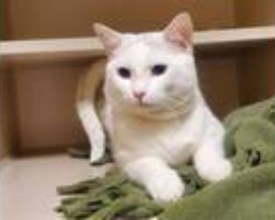 Adopt GLOVER a White (Mostly) Domestic Shorthair / Mixed (short coat) cat in