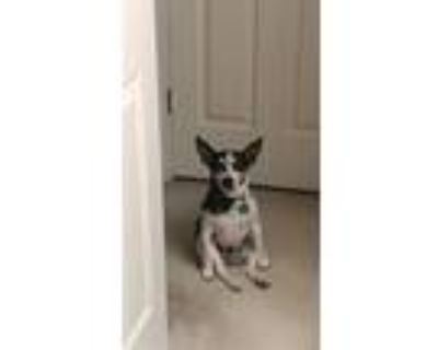 Bud, Rat Terrier For Adoption In Indianapolis, Indiana