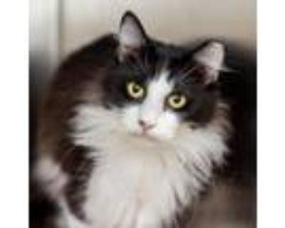 Adopt Bear a All Black Domestic Longhair / Mixed cat in Cumming, GA (31990993)