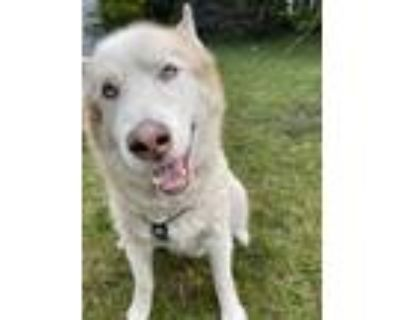 Adopt Logan a Tan/Yellow/Fawn - with Black Husky / Mixed dog in Plymouth