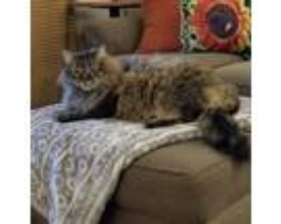 Adopt Fiona a Brown or Chocolate (Mostly) Maine Coon / Mixed (long coat) cat in
