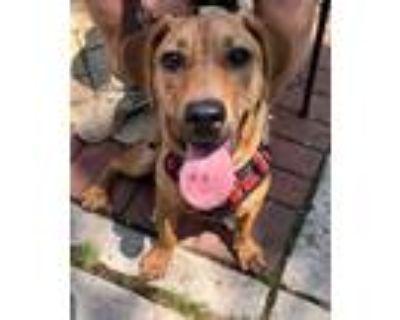 Adopt Moonpie a Brown/Chocolate Hound (Unknown Type) / Mixed dog in West Allis