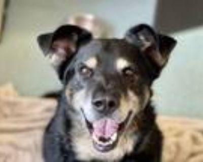 Adopt Bear a Labrador Retriever, Rottweiler