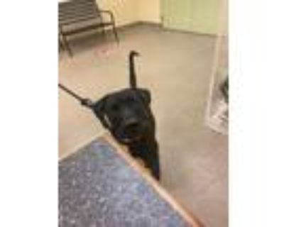 Adopt PARKER a Black - with White Labrador Retriever / Mixed dog in Fort Myers