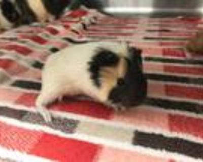Adopt JANET a Black Guinea Pig / Mixed small animal in Grand Prairie