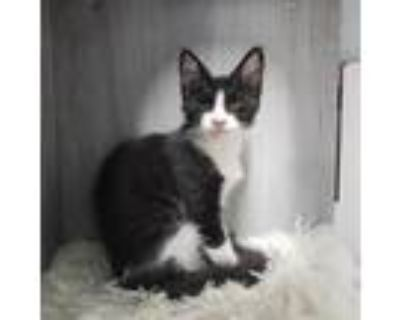 Adopt Champ a Domestic Shorthair / Mixed cat in Pleasant Hill, CA (32032295)