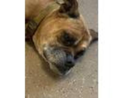 Adopt Sandwich* a Brown/Chocolate Boxer / Mixed dog in Anderson, SC (32047746)