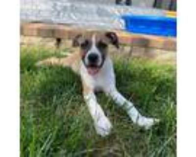 Adopt Lake Superior a White Boxer / Mixed dog in Shawnee, KS (31698916)