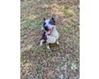Adopt Dakota a Black Australian Cattle Dog / Mixed dog in Cumming, GA (31111854)