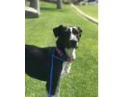 Adopt Misty a Black - with White Border Collie / Mixed dog in Bakersfield