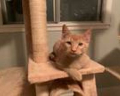 Adopt Willie and Clyde a Orange or Red Tabby Domestic Shorthair (short coat) cat