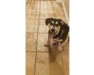Adopt Buddy a Black - with Tan, Yellow or Fawn Dachshund / Miniature Pinscher /