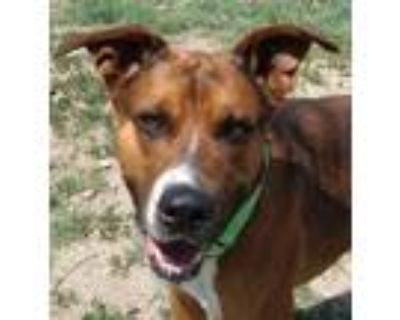 Adopt Chuck a Brown/Chocolate American Pit Bull Terrier / Mixed dog in Cheyenne