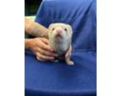 Adopt Morgan a Ferret