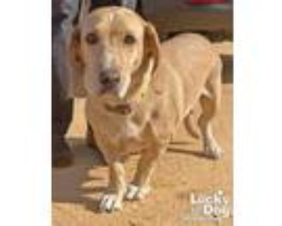 Adopt Missy a Tan/Yellow/Fawn - with White Basset Hound / Mixed dog in