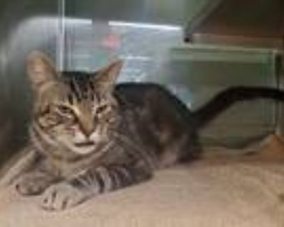 Adopt Benny a Brown Tabby Domestic Shorthair / Mixed (short coat) cat in