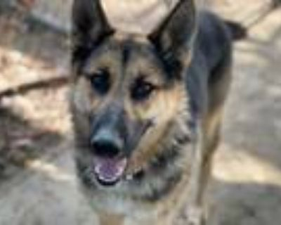 Adopt SIDNEY a Black - with Tan, Yellow or Fawn German Shepherd Dog / Mixed dog