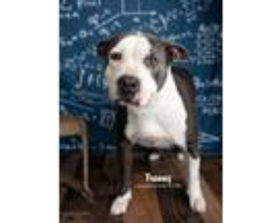 Adopt Franny a Gray/Silver/Salt & Pepper - with White American Staffordshire