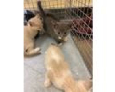 Adopt CYPRESS a Gray or Blue (Mostly) Domestic Shorthair / Mixed (short coat)