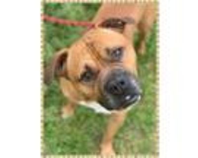 Adopt JARVIS - see video a Tan/Yellow/Fawn - with White Boxer / Mixed dog in