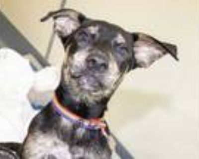 Adopt MILES a Black German Shepherd Dog / Mixed dog in Maryland Heights
