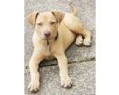 Adopt Henry a Tan/Yellow/Fawn Pit Bull Terrier dog in Amherst, NY (31521816)