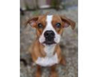 Adopt Molly a Boxer, Mixed Breed