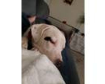 Adopt Spot a White - with Black American Pit Bull Terrier / Mixed dog in