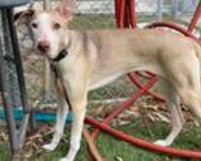 Adopt LUNA a Gray/Silver/Salt & Pepper - with White Whippet / Mixed dog in
