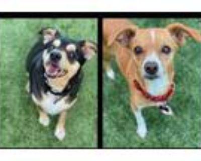 Adopt Sonya a Jack Russell Terrier, Basenji