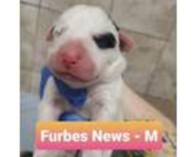 Adopt Furbes News a Labrador Retriever, Great Pyrenees