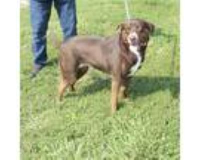 Adopt a Brown/Chocolate - with White Labrador Retriever / Mixed dog in St.