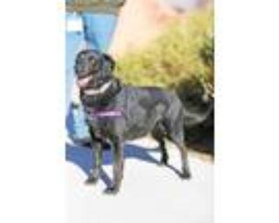 Adopt Chica a Labrador Retriever