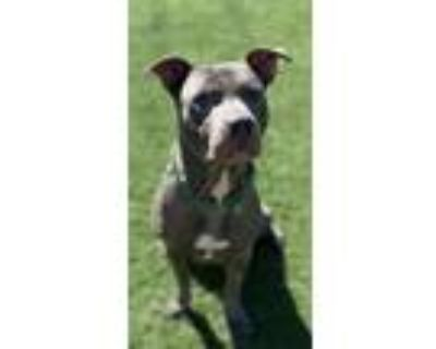 Hank, American Pit Bull Terrier For Adoption In Quincy, Illinois