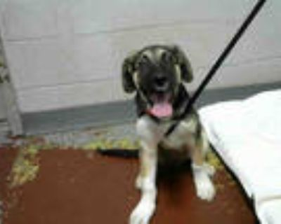Adopt ALDEAN a Brown/Chocolate - with White German Shepherd Dog / Mixed dog in