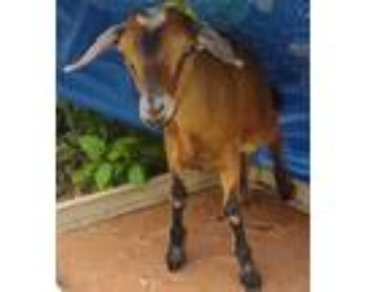 Adopt Kevin - Adopted a Goat