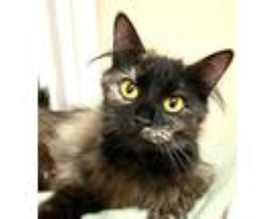 Adopt Toffee a Domestic Shorthair / Mixed cat in Mipiltas, CA (32109980)