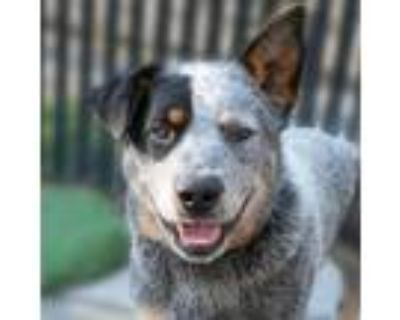Adopt COLT a Australian Cattle Dog / Blue Heeler