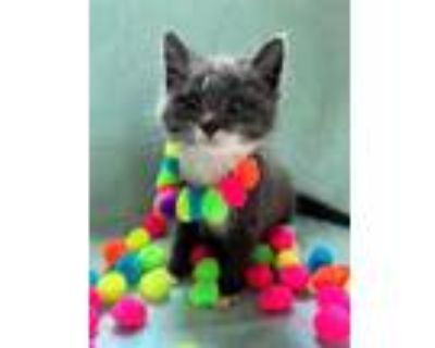 Adopt SCARLETT a Gray or Blue (Mostly) Domestic Shorthair / Mixed (short coat)