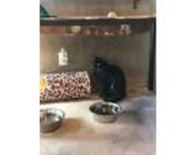 Adopt Jude and Samantha a Maine Coon, Domestic Long Hair