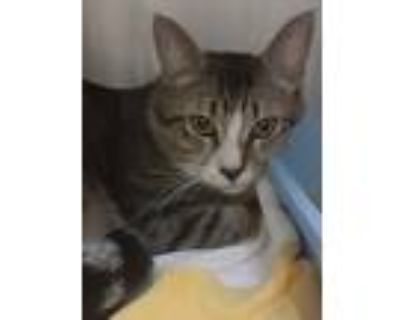 Adopt Purry a Domestic Shorthair / Mixed (short coat) cat in Heber