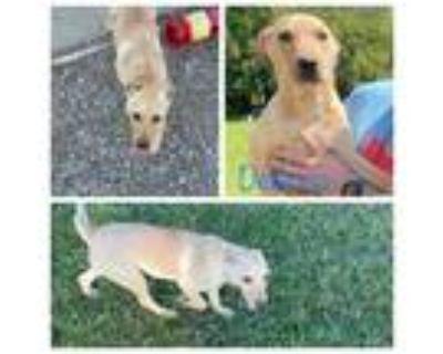 Adopt Deanna a Tan/Yellow/Fawn Labrador Retriever / Mixed dog in El Dorado
