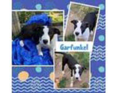 Garfunkel, Labrador Retriever For Adoption In El Dorado, Kansas