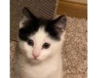 Adopt Loraine a Black & White or Tuxedo Domestic Shorthair / Mixed cat in St.