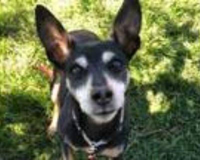 Adopt Moxy a Black Miniature Pinscher / Rat Terrier / Mixed dog in Boulder