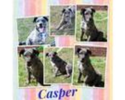 Adopt Casper a Merle Great Dane / Catahoula Leopard Dog / Mixed dog in El