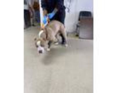 Adopt Ace Clay a Tan/Yellow/Fawn American Pit Bull Terrier / Mixed dog in Fort
