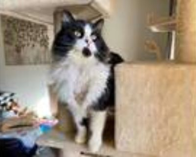 Adopt Bjorn a Black & White or Tuxedo Domestic Longhair / Mixed cat in