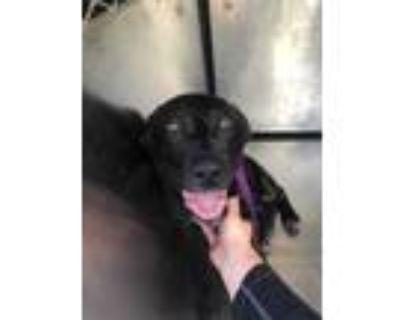 Adopt 48024285 a Black Labrador Retriever / Mixed dog in Fort Worth