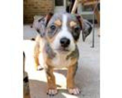 Adopt Bernard a Dachshund, Terrier